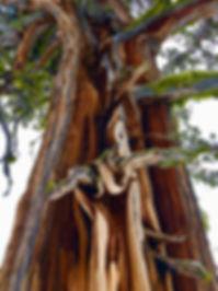 oldtree-winter-kirkwood.jpg
