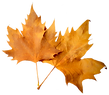 fall leaf 5.png