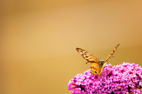 Supporting Native Pollinators