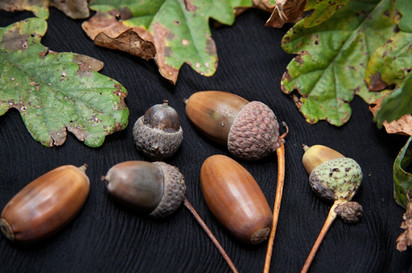 Local Acorn Growing Project