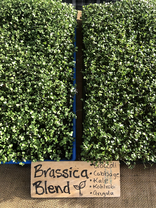 Aerial view of two full trays of brassica blend of microgreens