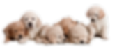 IMGBIN_puppy-basset-hound-golden-retriev