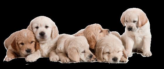 IMGBIN_puppy-basset-hound-golden-retriev