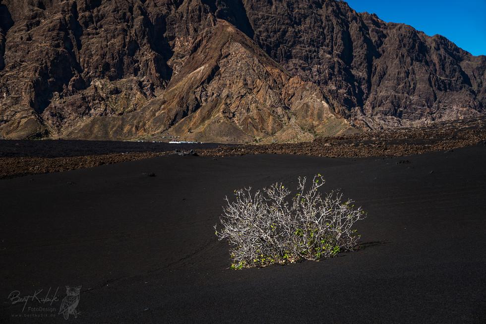 Ein einsamer Feigenstrauch im Lava-Feld