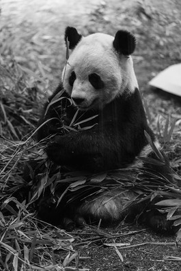 Panda at the Calgary zoo, Calgary Wedding Photographer,
