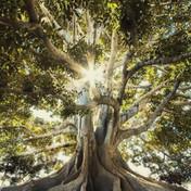 Fig Tree_Insta.jpg