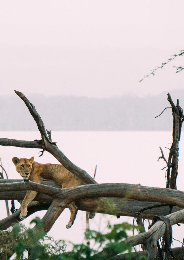 Lionness, Lake Nakuru