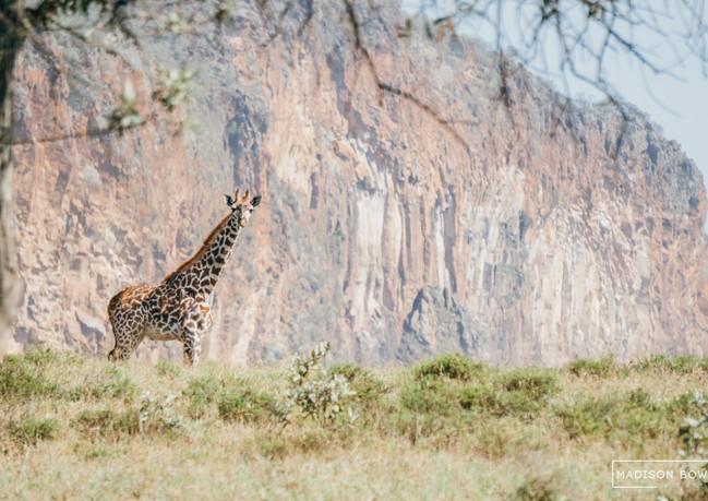 Giraffe, Hells Gate