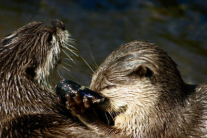 Otters sharing food.jpg