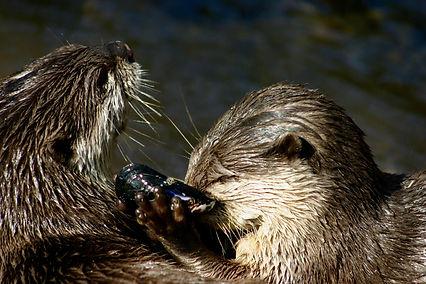 Otters sharing food.jpg