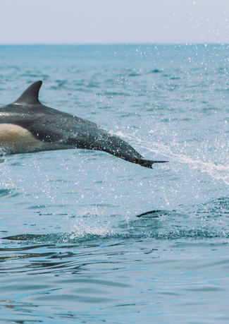 common dolphin ariel.jpg