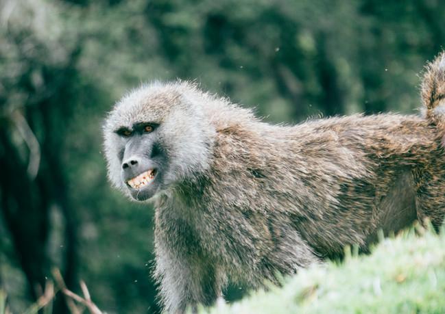 Olive baboon, Mount Kenya