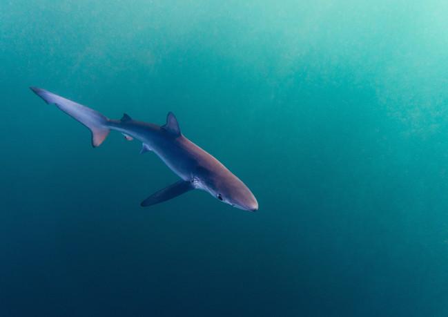 Blue Shark 1.jpg