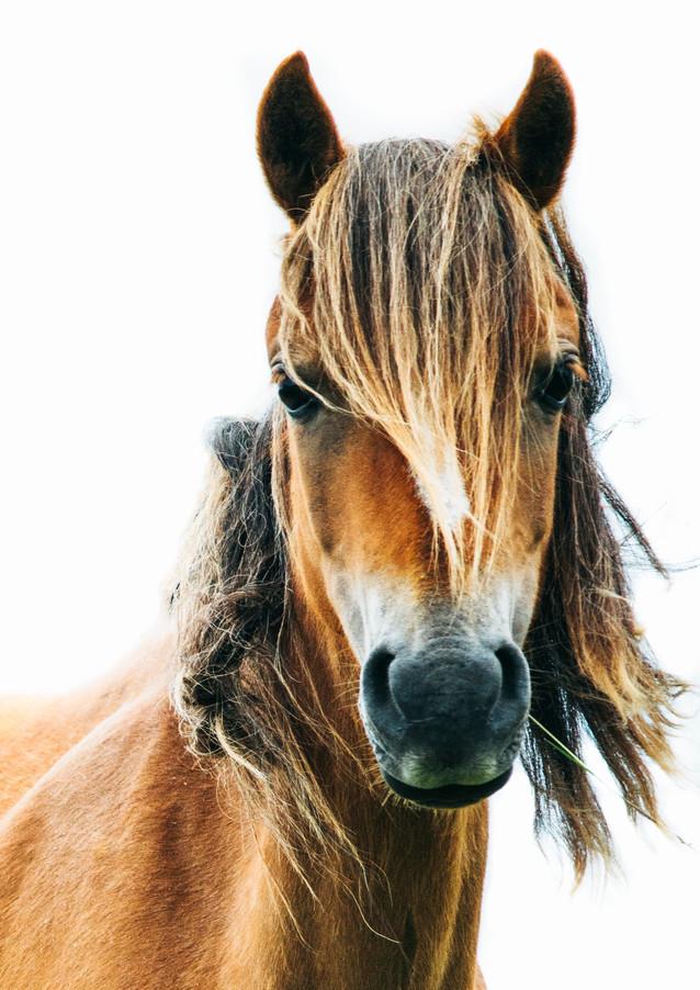 Gower Pony