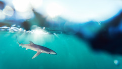 Blue Shark, Baja Coast