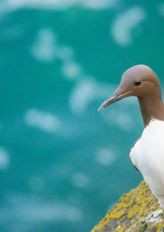 Guillemot, Skomer Island.jpg