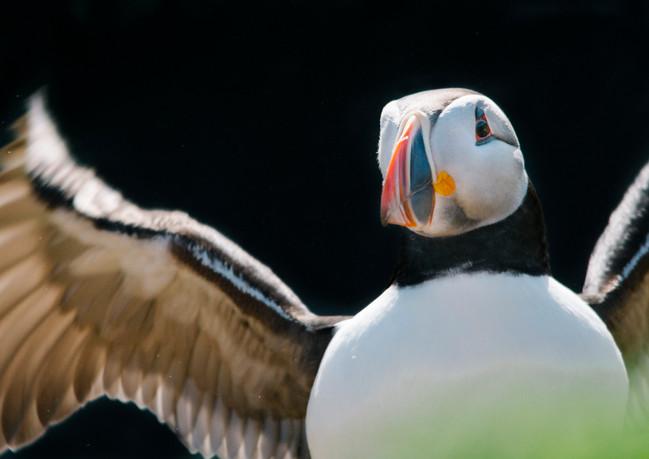 Puffin on Skomer Island.jpg