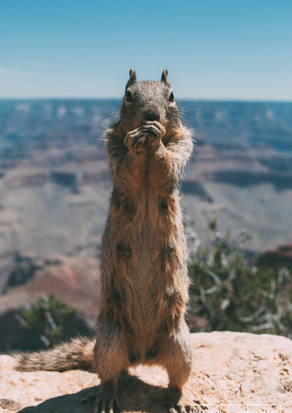 Squirrel Grand Canyon.jpg