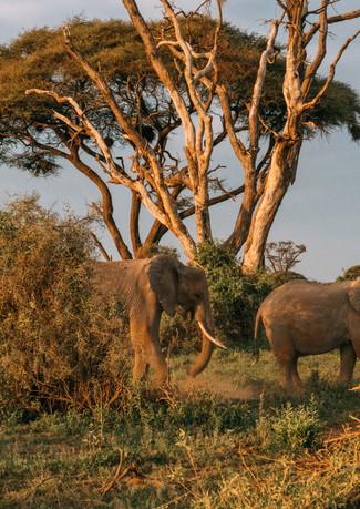 African Elephants, Amboseli