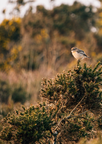 Stonechat, The Gower Peninsula
