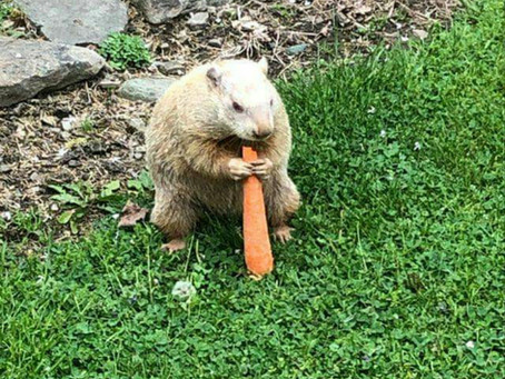 Local Celebrity Woodchuck Missing