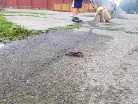 Large Crustacean On Elm Street