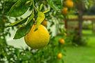 agriculture-citrus-citrus-fruit-1171521.