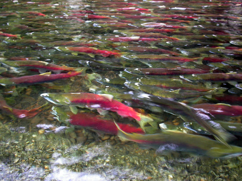 Sockeye salmon spawning; salmon are likely to form metapopulations, an understudied aspect of their biology.