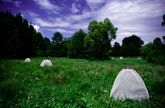 Tents are placed in the field to record the number of B. eunomia butterflies emerging in different habitat patches.
