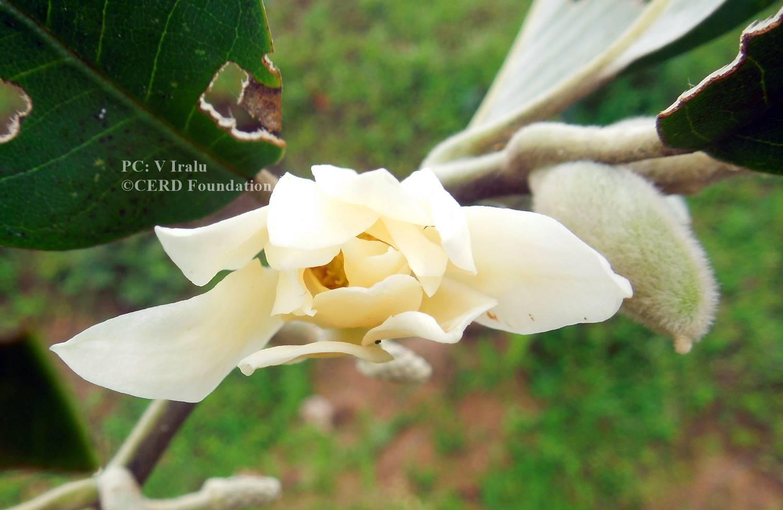 Magnolia lanuginosa (Wall