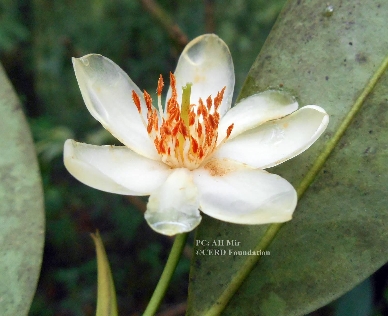 Cleyera grandiflora