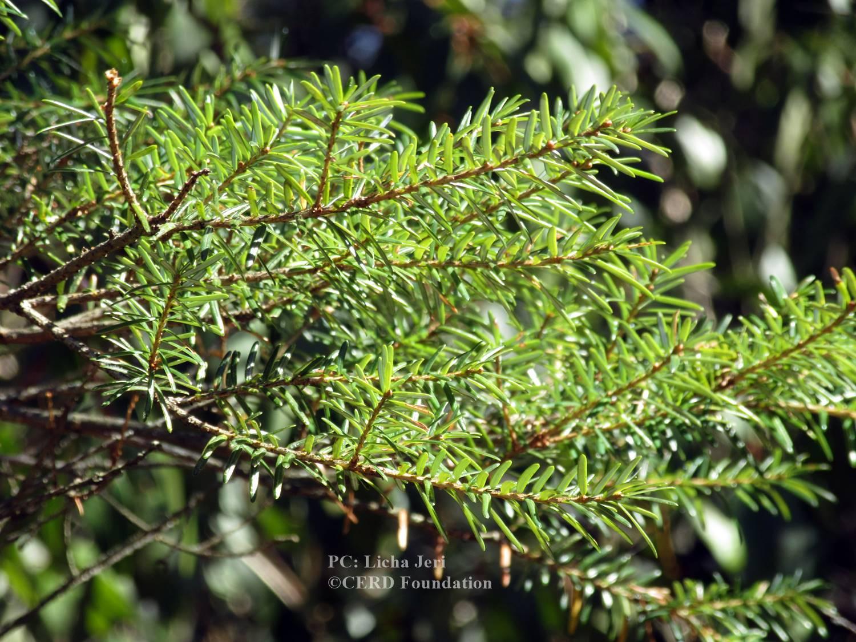 Amentotaxus assamica (1)