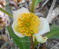 Pyrenaria cherrapunjeana
