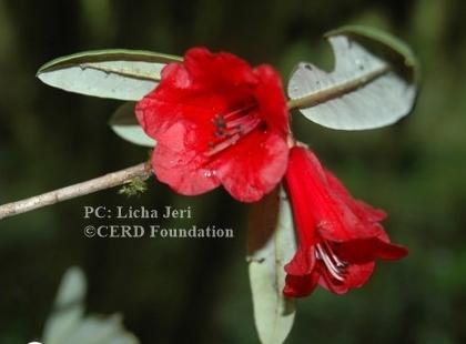 Rhododendron subansiriense