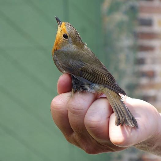 Fågelguidning vid Falsterbo Fyr - Återkommande under hösten