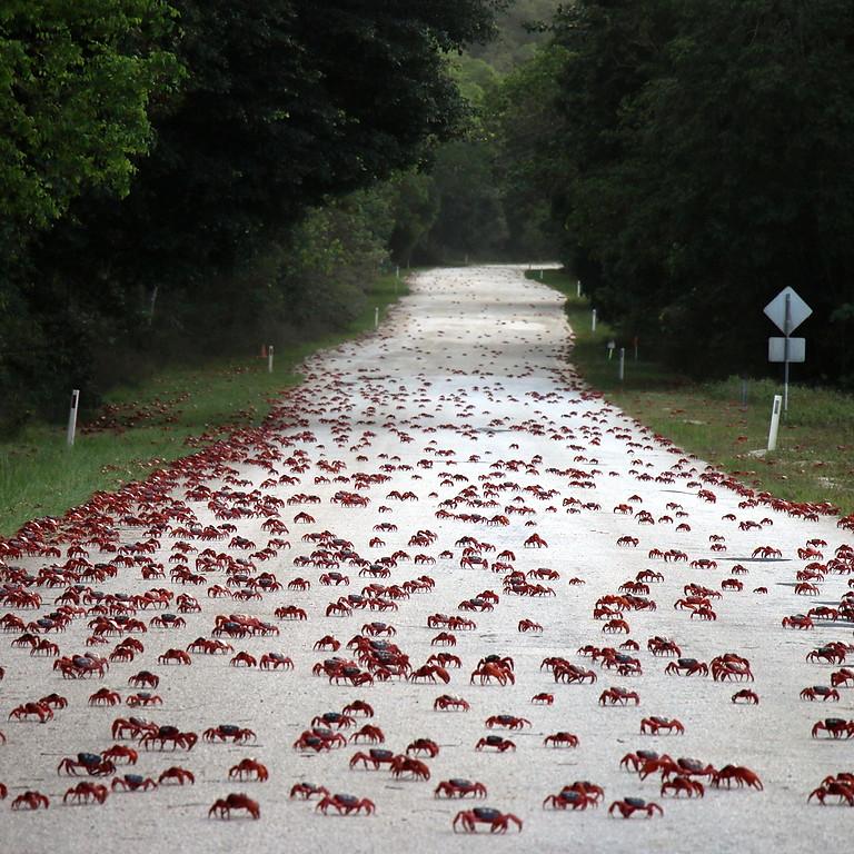 Krabbornas ö - Den röda massvandringen på Julön