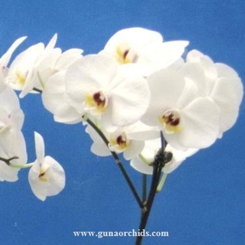 Phalaenopsis Shu Long Pearl BS