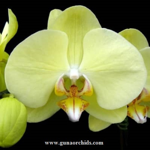 Phalaenopsis Younghome Beauty Gold BS