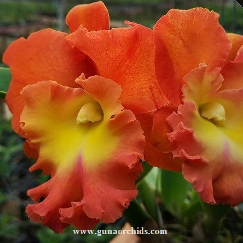 Cattleya Star of Siam SS
