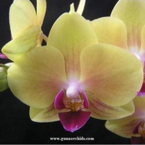 Phalaenopsis Fangmei Sweet Mutation BS