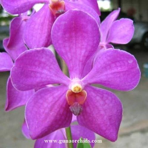 Mokara Big Purple BS