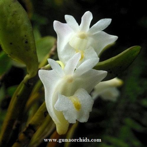 Dendrobium Hymenanthum BS