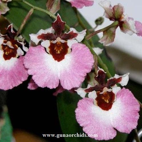Tolumnia Genting Pink Lady BS