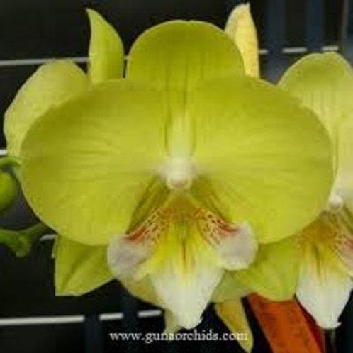 Phalaenopsis Green Dancer BS