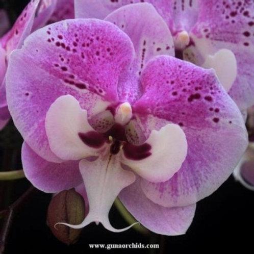 Phalaenopsis Yushan Mongo x Lioulin Black Rose BS