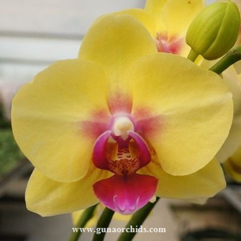 Phalaenopsis Fusheng Golden Age BS