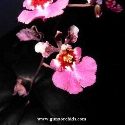 Tolumnia Pink Panther BS