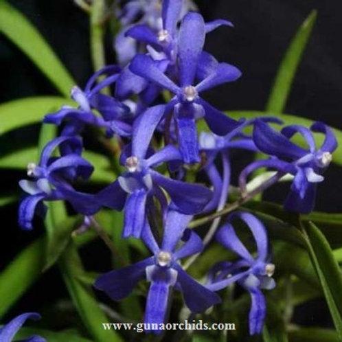 Neofinetia falcata Charm Blue Star BS
