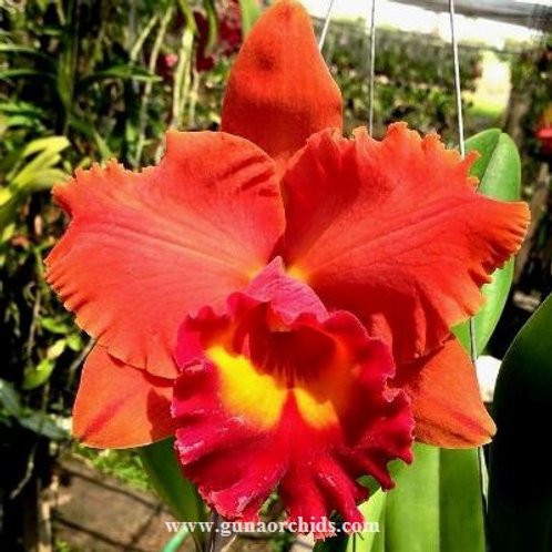Cattleya Chia Lin 'New City' x Yen Golden Sensation BS
