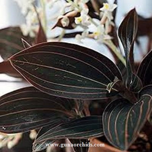 Jewel Orchid - Ludisia Discolor MS
